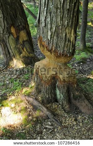 European aspen tree almost taken down by beaver