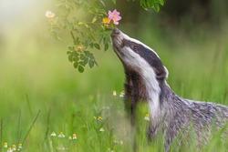 European badger is  sniffing flowering wild rose. Horizontally.