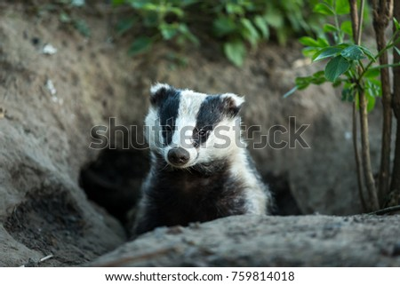 European Badger looking out of the badger sett.  Head and shoulders, facing forwards.  Green foliage to the right. Landscape. Latin Name: Meles Meles