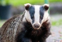 European Badger Meles meles cute mammal close up face