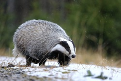European badger (Meles meles) running in winter forest. Black and white striped animal sniffs in snowy grass. Hunting beast in snowfall. Wildlife scene from nature. Habitat Europe, Western Asia.