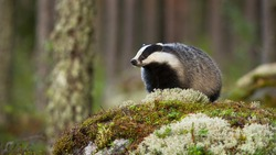 European badger, meles meles, standing on rock in summertime nature. Striped badger looking on moss in summer forest. Wild black and white mammal observing on stone.