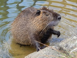 European beaver grooming its chestnut colored fur in a French canal, its natural habitat. The Eurasian beaver was an endangered species, but now lives in the walls of the canal. Small rodent in water.