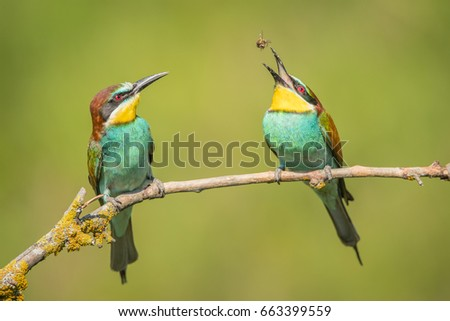 European Bee-eater. Bee juggling.