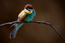 European bee-eater bird (Merops apiaster) perched on a branch waiting for prey. Close-up of a colorful bird isolated on brown background.