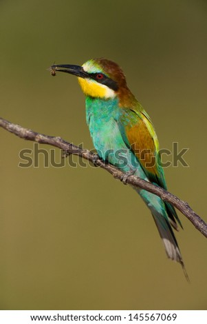 European bee eater isolated on green background in breeding time