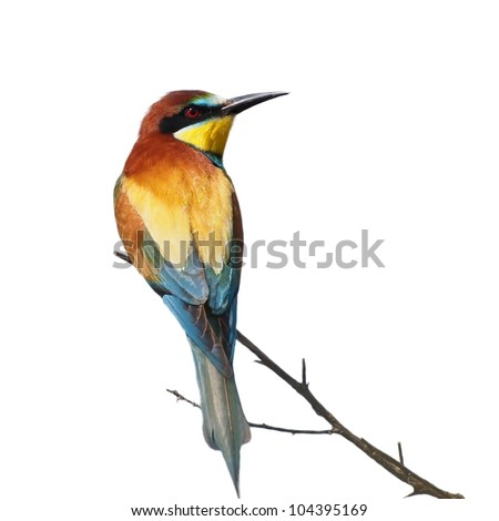 European bee-eater isolated on white background, Merops apiaster