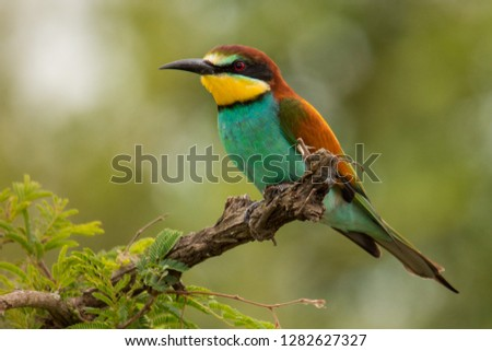 European Bee-eater (Merops apiaster) bird sitting or perching in tree branch with green background in Kruger National Park #1282627327
