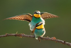 European bee-eater, merops apiaster, couple mating on bough in summer. Pair of colorful birds sitting on twig with spread wing backlit. Wild multicolored feathered animals copulating on branch.