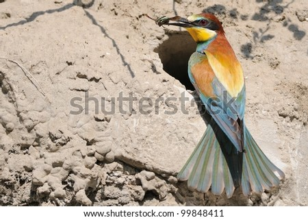 European Bee-eater (Merops apiaster) on the nest with prey