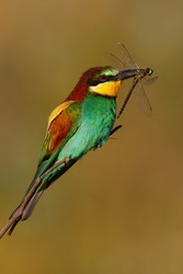 European bee-eater, merops apiaster, sitting on twing in summer sunlight. Colorful bird holding insect in beak. Multicoloured fetahered animal catching dragonfly on sun.