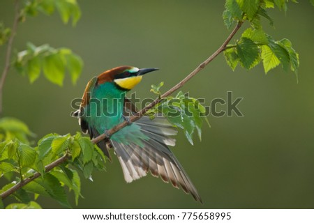 European bee-eater (Merops apiaster) stretching a wing