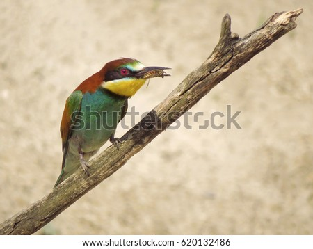 European bee-eater (Merops apiaster) with prey           #620132486