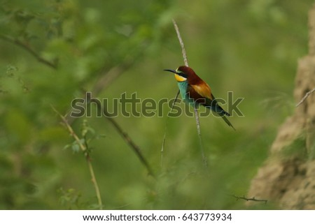 European bee-eater on a close up horizontal picture in their natural habitat. A rare colorful bird species which hunts insects sitting on a branch..