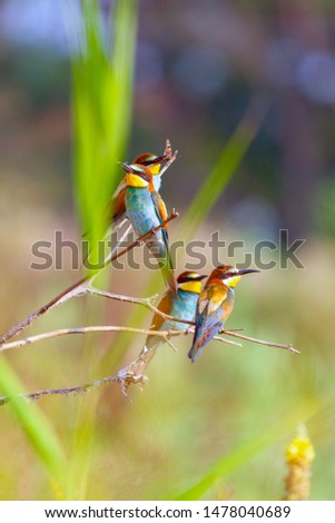 European bee-eater or Merops apiaster, birds perched on branch
