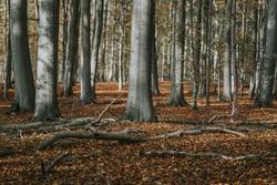 European beeches in the beech forest, autumn forest with leaves, autumn leaves on forest floor