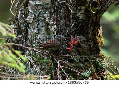 Photo of  European bird Dunnock, Prunella modularis feeding its chicks in a nest in an old boreal forest, Estonia.