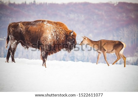 european bison and deer in winter