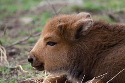 European bison baby lying on the meadow in the wild nature mountain (Bison bonasus)