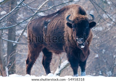 European Bison (Bison bonasus), male, looking in Winter Landscape