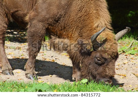 European bison bull in the Bialowieza Forest, Poland, UNESCO World Heritage Site