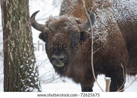 European bison bull in the Bialowieza Forest standing among trees in snowfall
