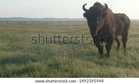 European bison or European wood bison.  Wild animal, big old bull. Bison bonasus.