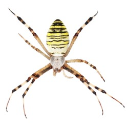 European Black and Yellow Garden Spider isolated on white background
