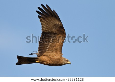European black kite in the blue sky