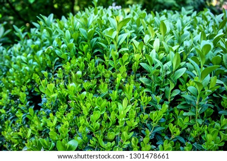 European boxwood, European boxwood or boxwood, is a type of evergreen shrub. Close-up. Selective focus. Green branches of boxwood as texture for design. #1301478661