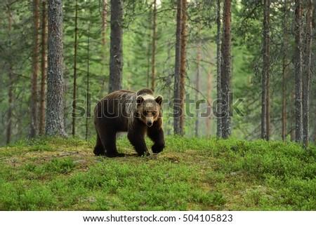 European Brown Bear in a forest landscape #504105823