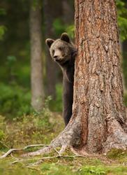 European brown bear (ursos arctos) cub peeking his head from behind the tree, Finland.