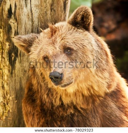 stock-photo-european-brown-bear-ursus-arctos-showing-a-sad-face-78029323.jpg