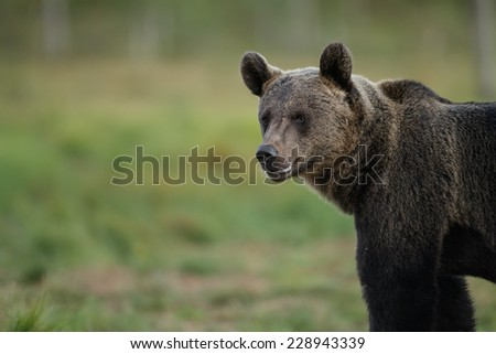 European brown bear with copy space to the left