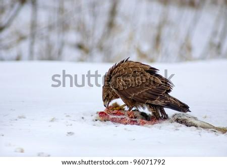 European buzzard - stock photo