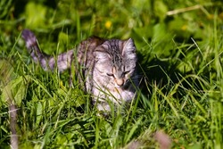 European cat (lat.Felis silvestris). A fluffy and cautious cat, quietly sneaks up to its prey.