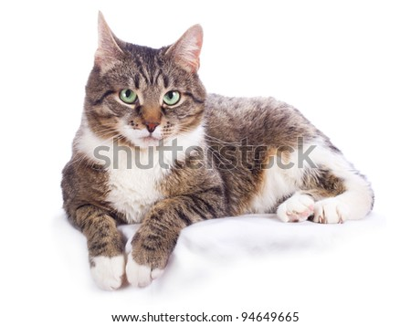 european cat on a white background - stock photo