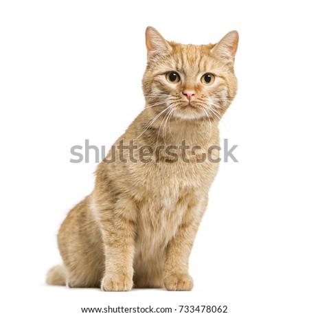 European cat sitting, isolated on white