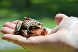European common brown frog or common frog (Rana temporaria) or moor frog (Rana arvalis) sitting on the human hand. Brown Rana temporaria held by a male hand. Human open palm with a frog on it