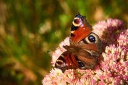 European Common Peacock butterfly (Aglais io, Inachis io)
