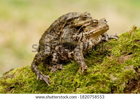 European Common toad, Bufo bufo mating on the grass stock photo