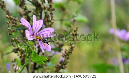 European common Wasp (Vespula vulgaris) is sitting on a purple Malva sylvestris flower. Wasp covered with pollen. Macro panoramic photography of insects #1490693921