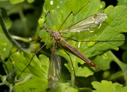 European crane fly on a green leaf after rain.  Marsh crane fly ( tipula paludosa) close-up. Top view.