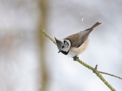 European crested tit (Lophophanes cristatus) in winter frosty weather in the snow. The European crested tit, or crested tit (Lophophanes cristatus, Parus cristatus), is a bird in the family Paridae.
