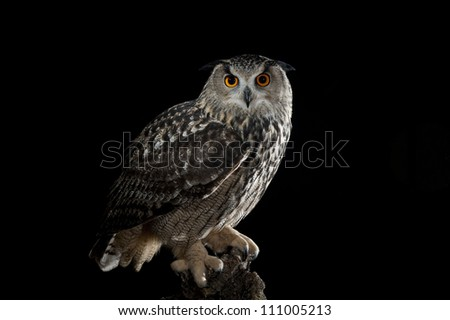 European Eagle Owl (Bubo bubo) perched on a tree,Avila,Spain,Europe