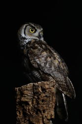 European Eagle Owl (Bubo bubo) perched on tree stump, copy space to left