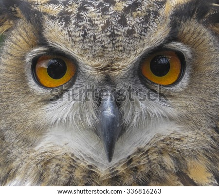 European Eagle Owl. Eurasian owl. Close up of face. Big Eyes. Wisdom