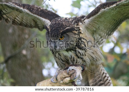European Eagle Owl on handlers glove