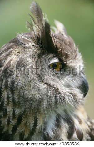 European Eagle Owl Starring to the side