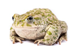 European emerald toad isolated on a white background